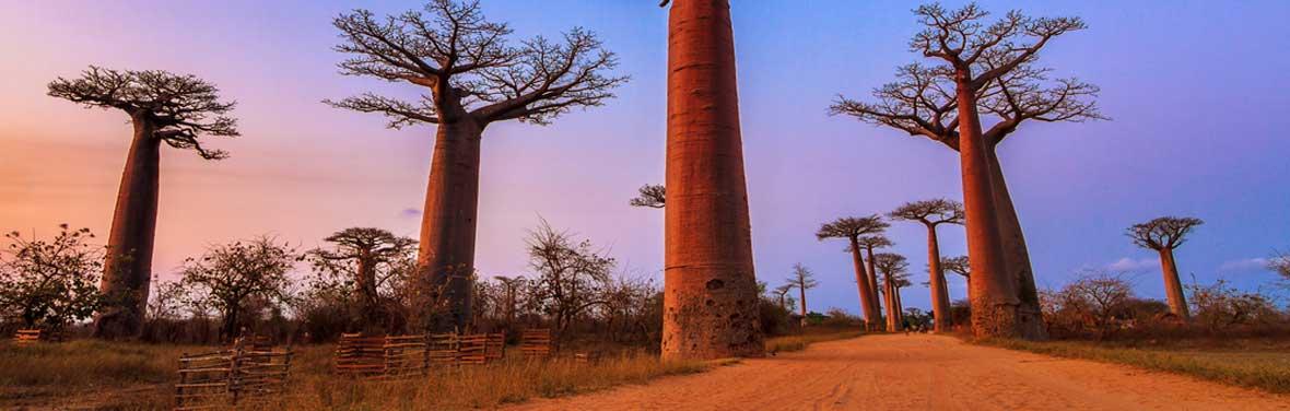 Madagascar Baobab Tree Trail