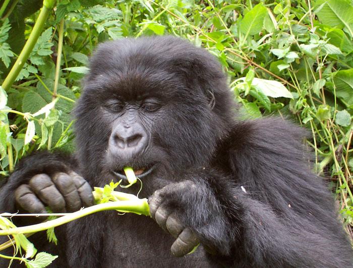 Gorillas & Chimps In Depth 1