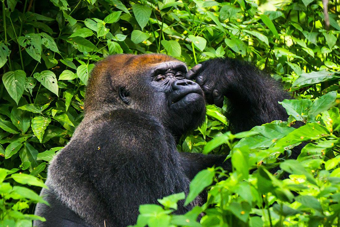 Republic of Congo Expedition - Gorilla Trek 1
