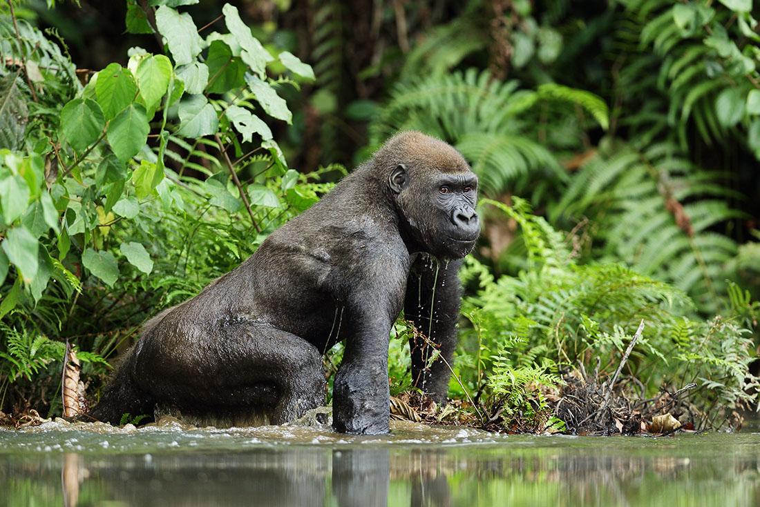 Republic of Congo Expedition - Gorilla Trek 2