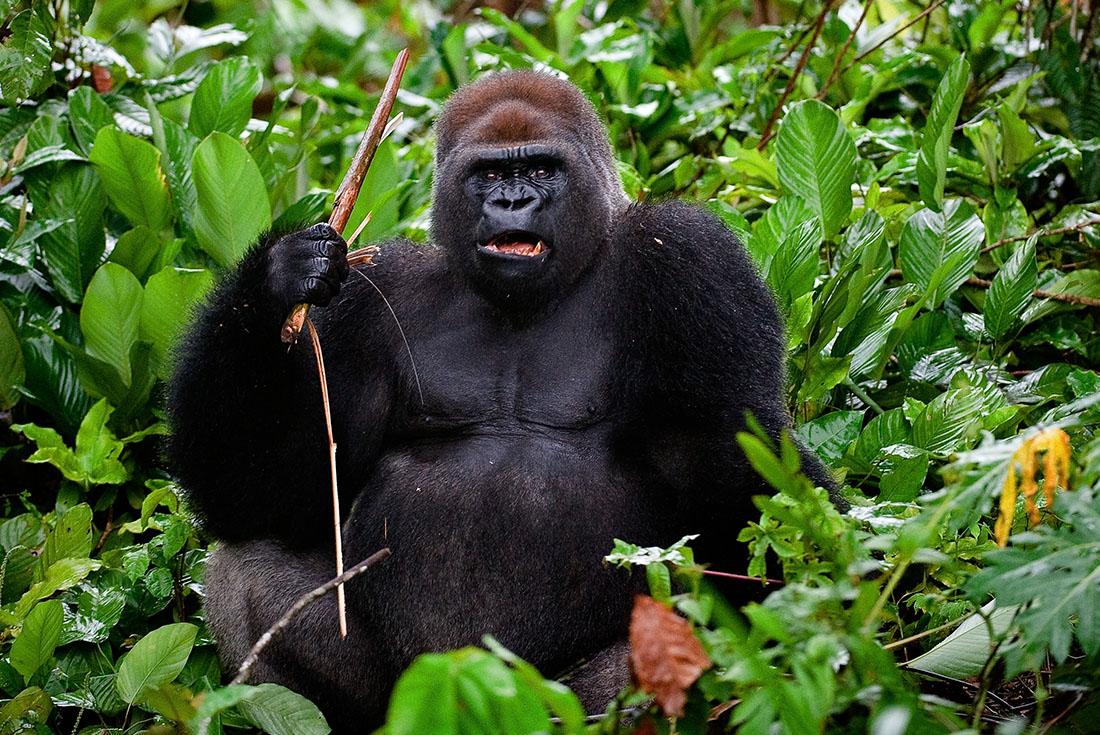 Republic of Congo Expedition - Gorilla Trek 4