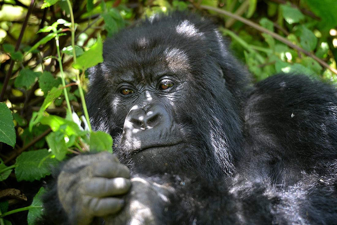 Uganda Gorilla Shortbreak: Original 1