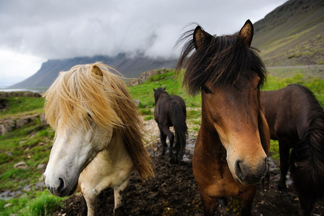 Cruising Iceland: Westman Islands to Westfjords 3