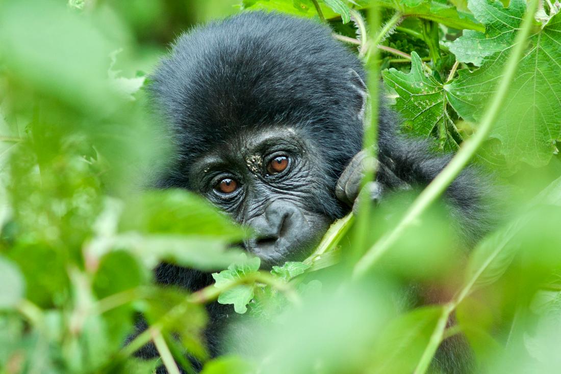 Remarkable Rwanda & Gorillas of Uganda 1