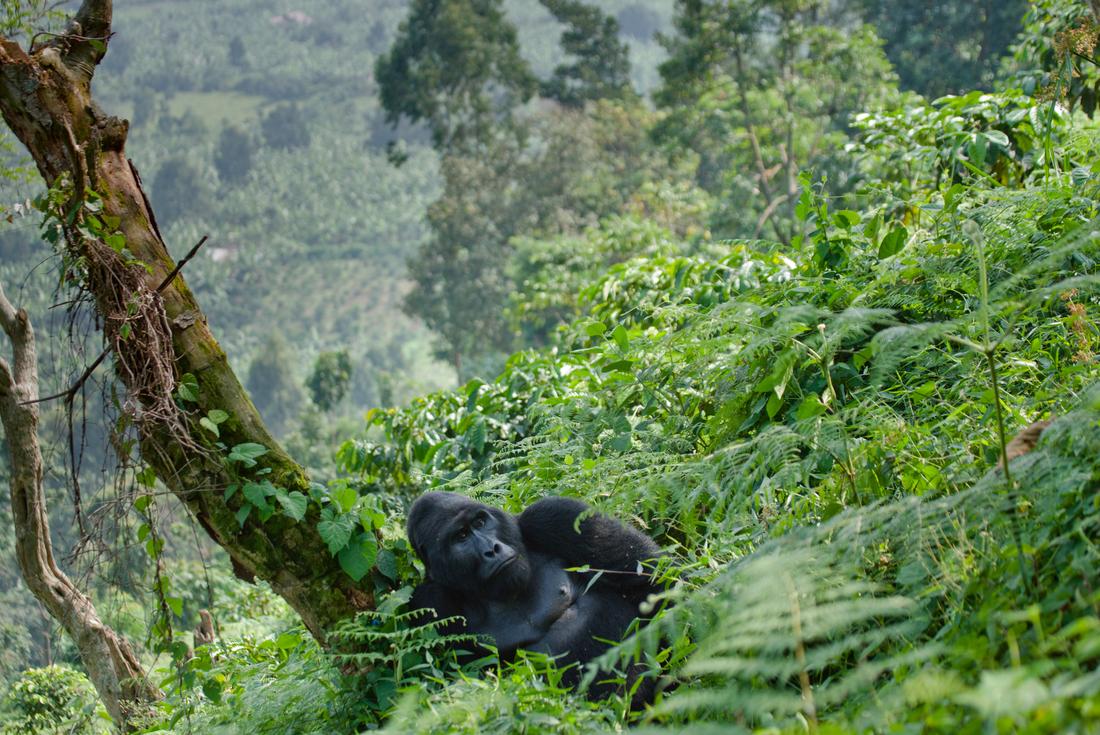 Uganda Gorilla Short Break 1