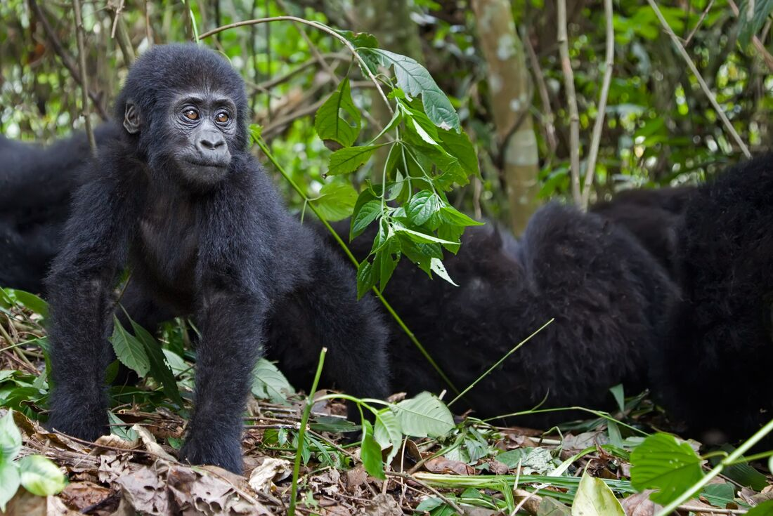 Gorillas & Game Parks 3