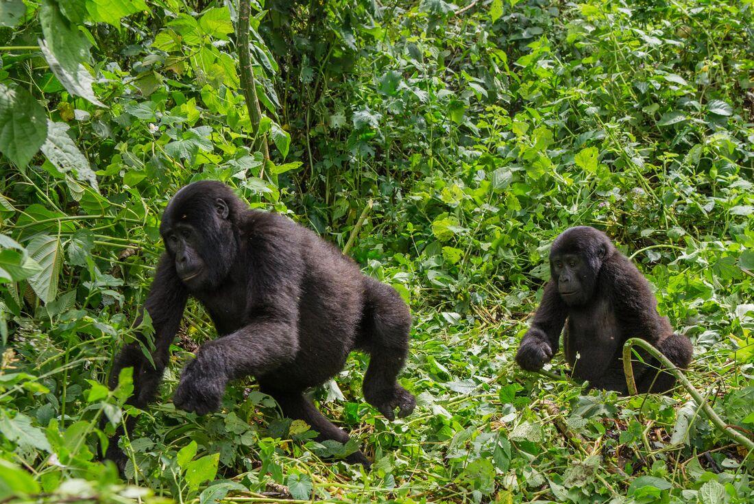 Mountain Gorillas of Rwanda 2