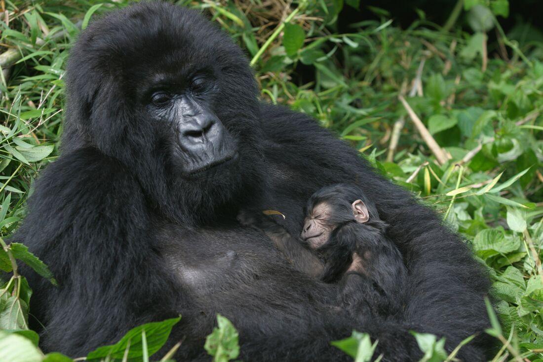Mountain Gorillas of Rwanda 4