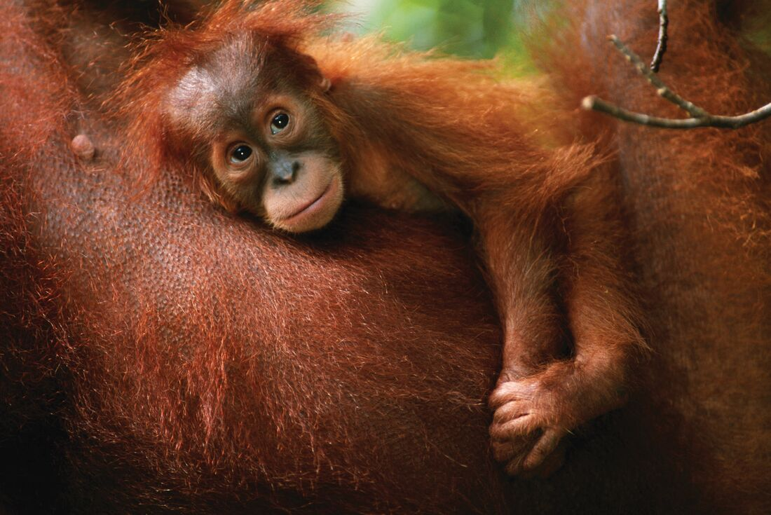 Indonesia Expedition: Orangutans of Kalimantan 4