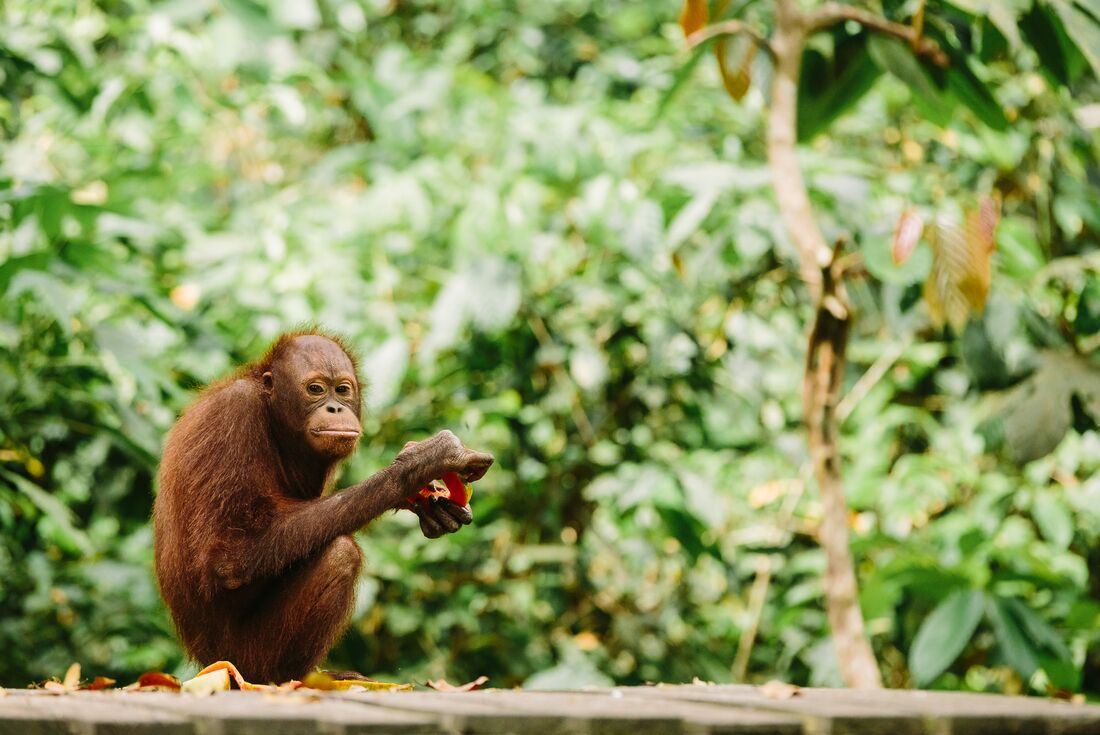 Indonesia Expedition: Orangutans of Kalimantan
