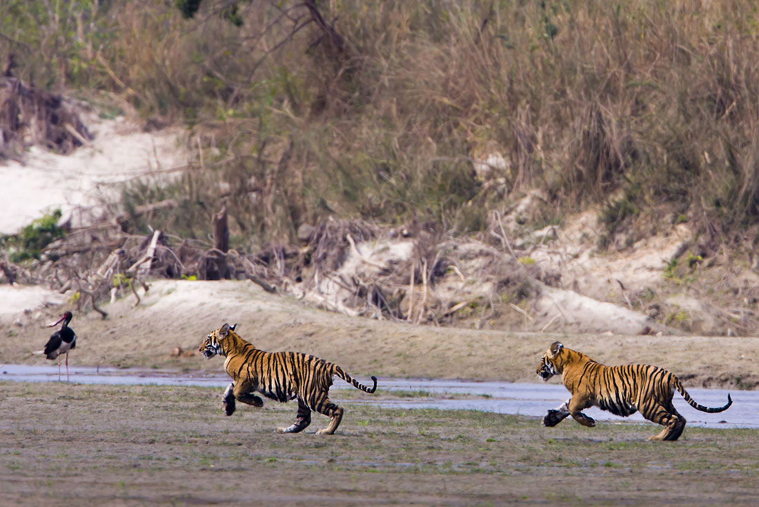 Tigers of Bardia 1
