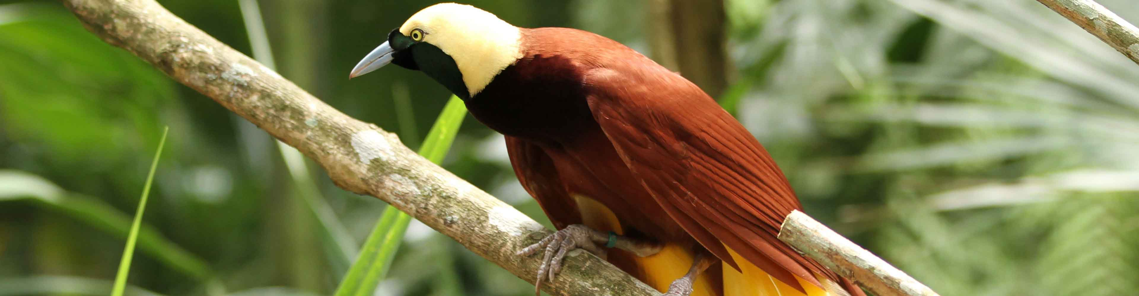 Birds of Paradise, Papua New Guinea - Limited Edition
