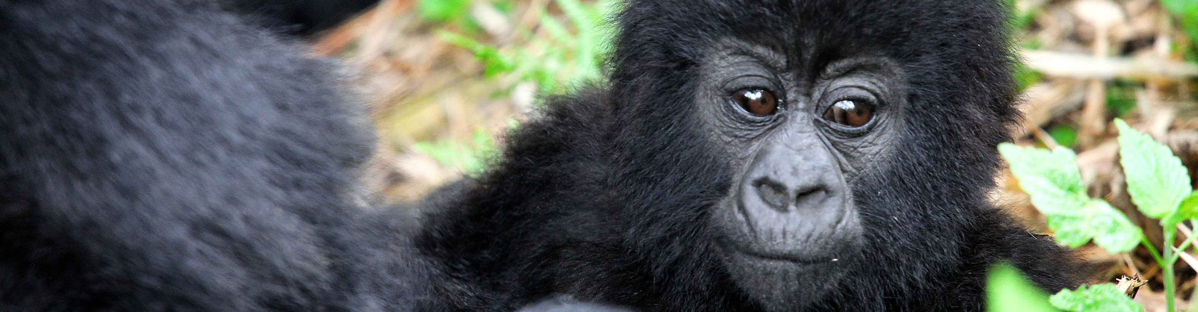 Mountain Gorillas of Uganda Experience – Independent