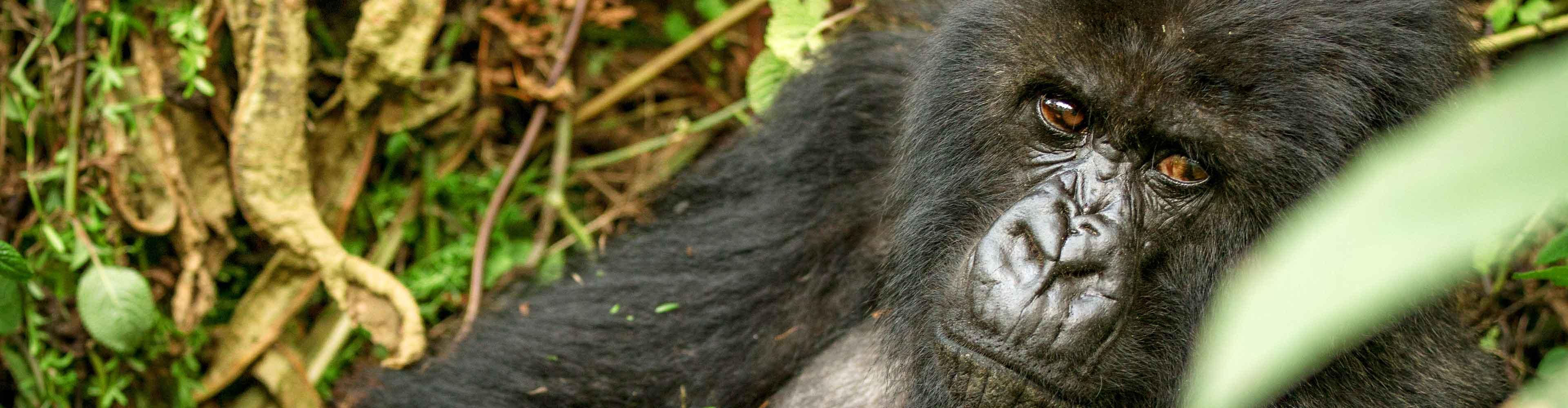 Mountain Gorillas of Rwanda Experience – Independent