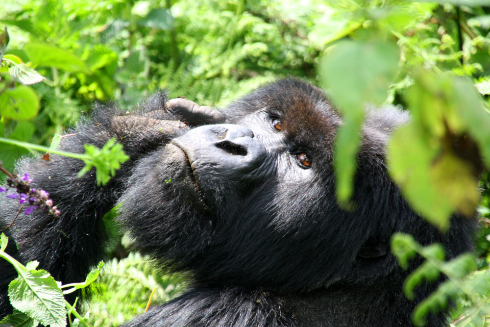 Mountain Gorillas of Uganda Experience - Independent 1