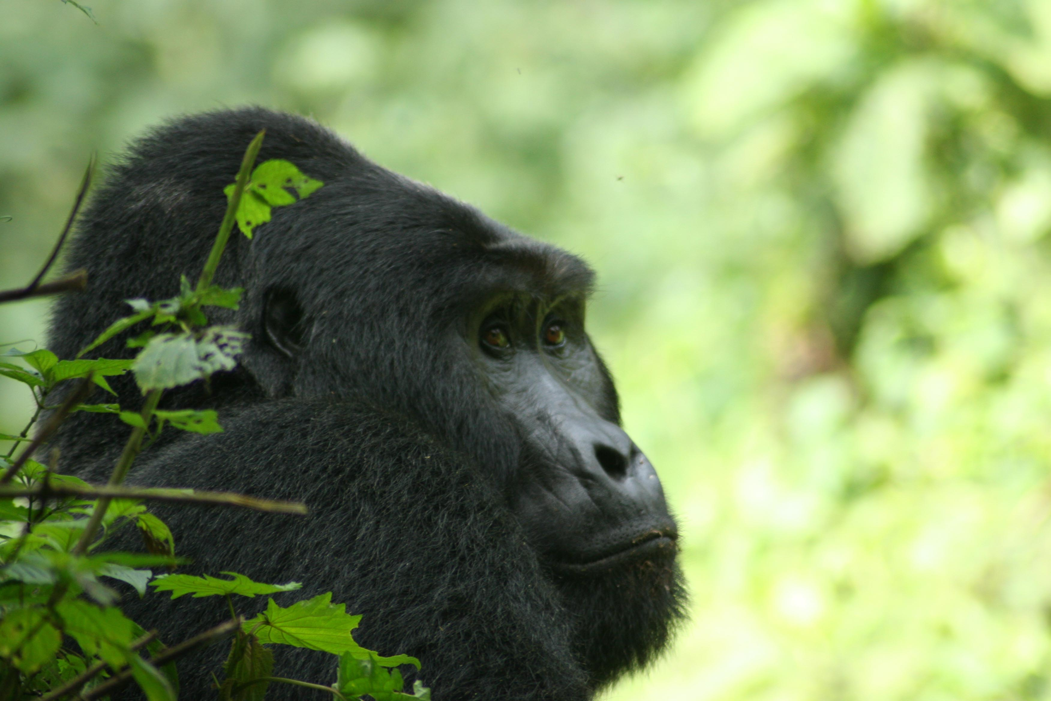 Mountain Gorillas of Uganda Experience - Independent 2