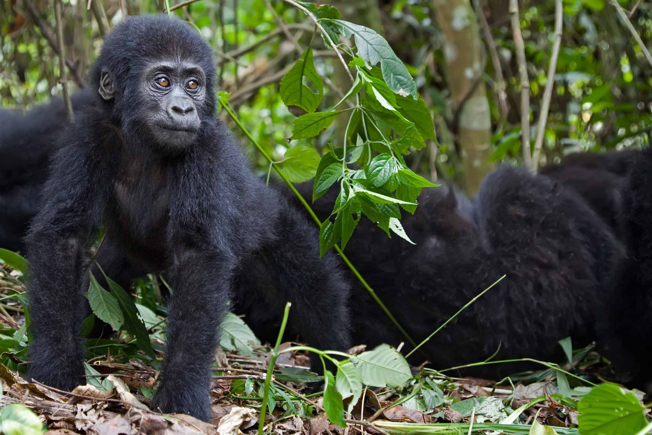 Mountain Gorillas of Rwanda Experience – Independent 1