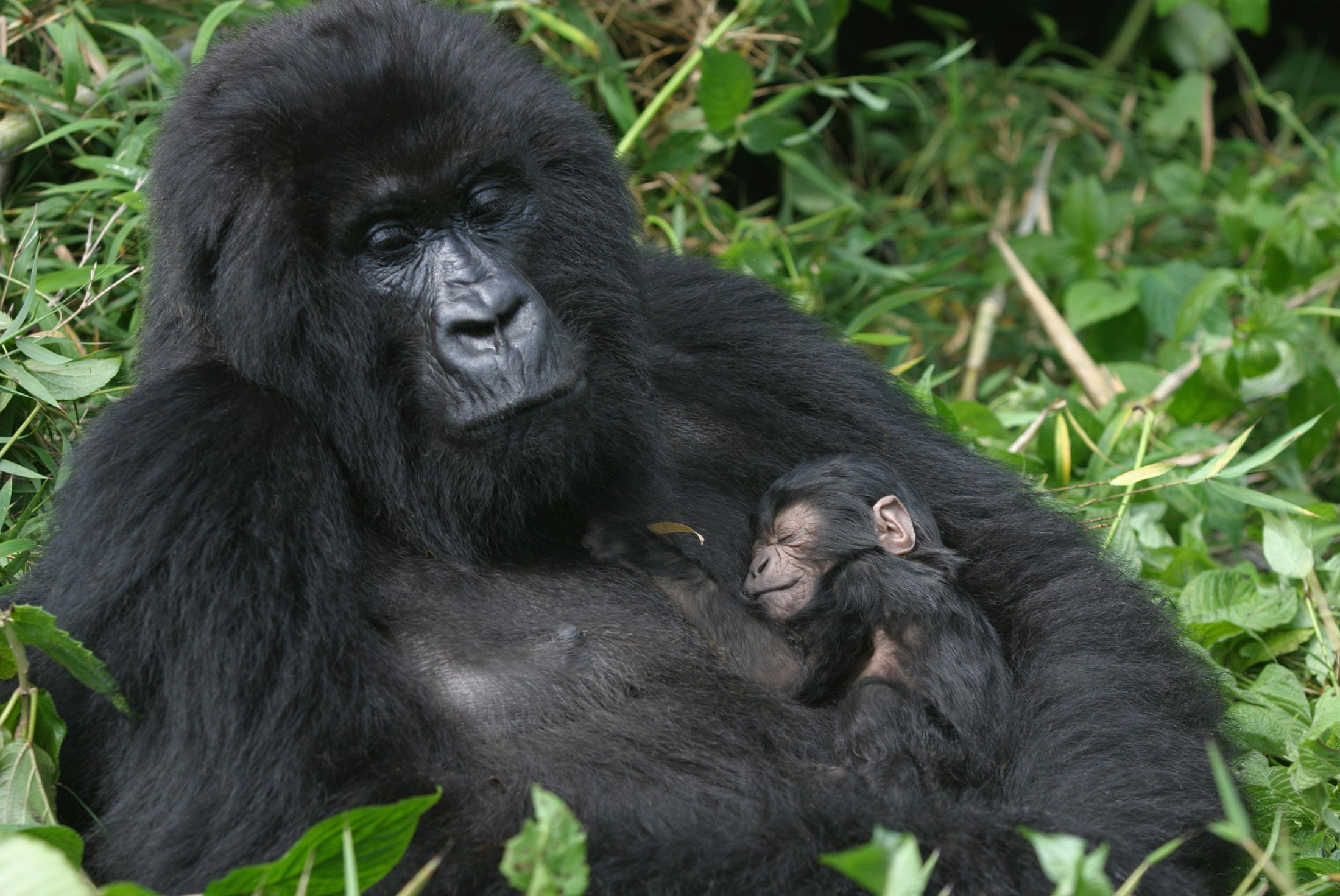 Mountain Gorillas of Rwanda Experience – Independent 3